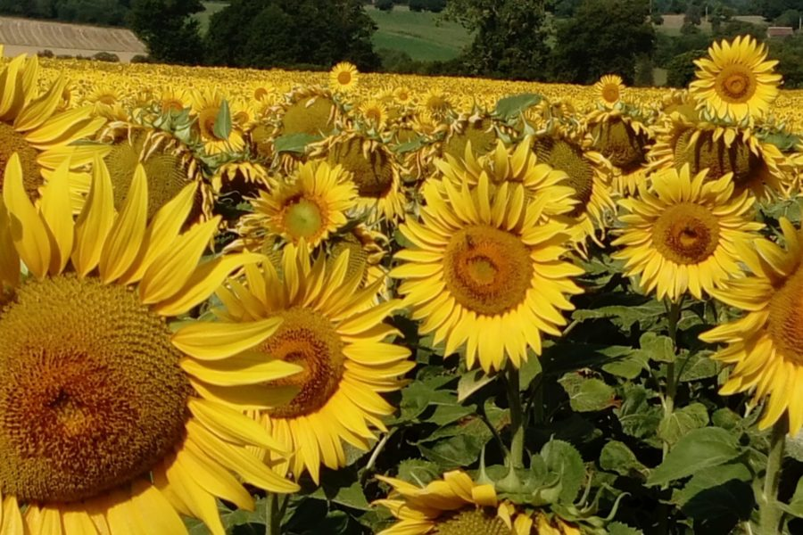 Nearby Sunflower fields